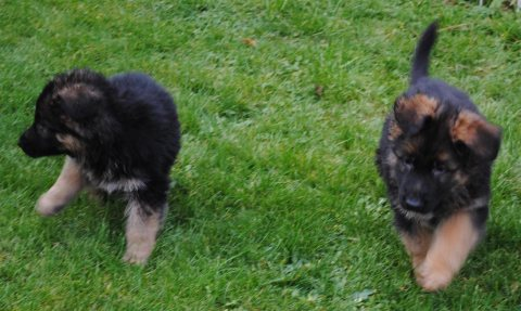 Quality German Shepherd puppies,,,,