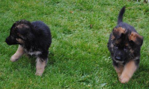 Quality German Shepherd puppies,,,,