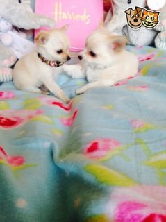 Excellent Apple Head Chihuahua Puppies,,,