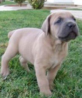 AKC Cane Corso Puppies,,,