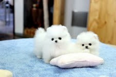 Two Awesome T-Cup Pomeranian Puppies,,