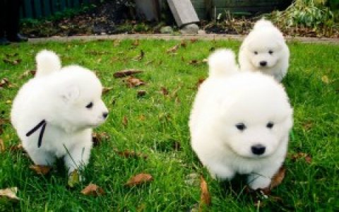 Samoyed Puppies for Adoption,,,,,