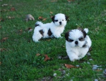 Adorable Male And Female Shih Tzu Puppies,,,
