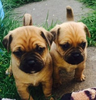 Beautiful Puggle Puppies ready to go