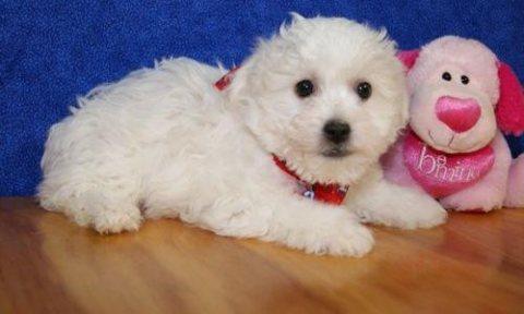 Bichon Frise Pups,,,