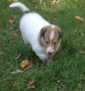 bearded collie Puppies for adoption,,,