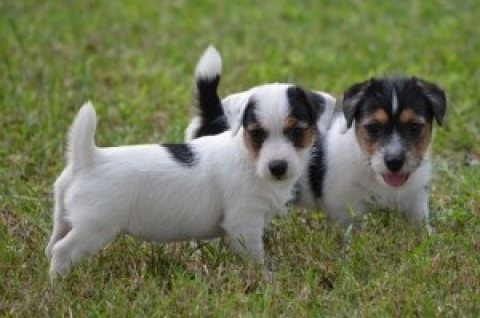 Jack Russell Terrier Puppies,,,