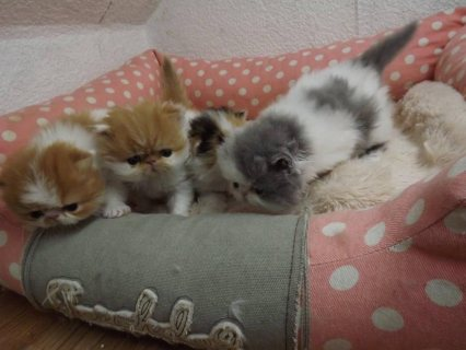 Beautiful Persian Kittens For Sale