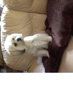 8week old shih Tzu puppy for adorption
