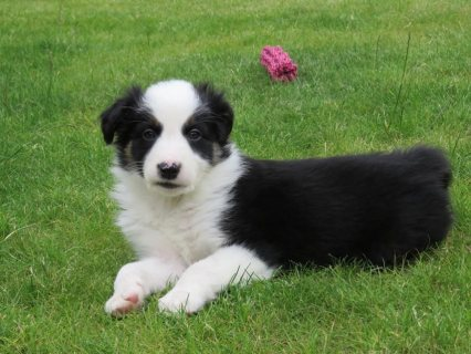Border Collie female pup