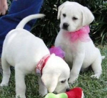 Two Labrador puppies for free Adoption
