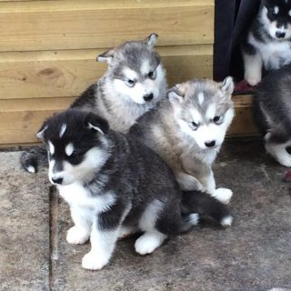 Husky Puppies cute for adoption