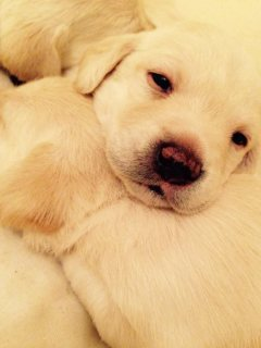 صور Adorable Labrador puppies for sale  1