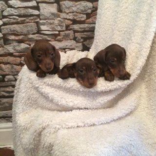 Mini dachshund puppies good for daoption