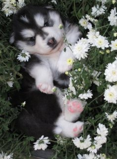 Excellent And Sweet Gorgeous Siberian Husky Puppies,,,