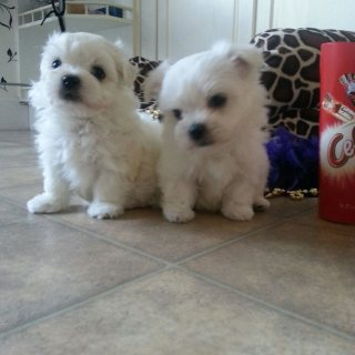 Purebred Teacup Maltese Puppies,,,,