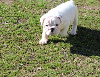 AKC English Bulldog Puppies ,,