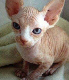 Beautiful Sphynx kittens,,,,