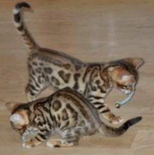 Lovely F2 Savannah Kittens available........