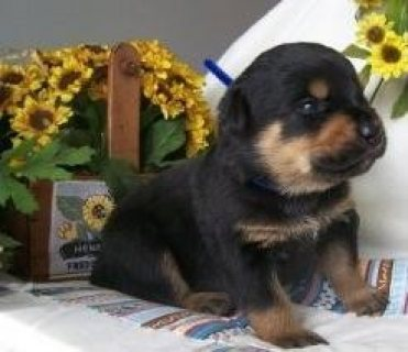Healthy Rottweilers Puppies for Sale