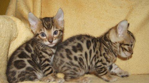 Registered Bengal Kittens Available==-