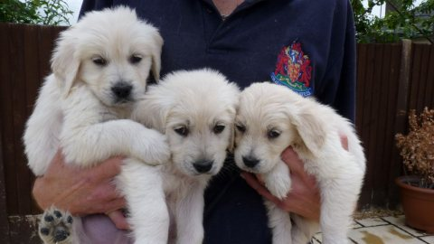 10 weeks old Golden Retreiver puppies ready for adoption