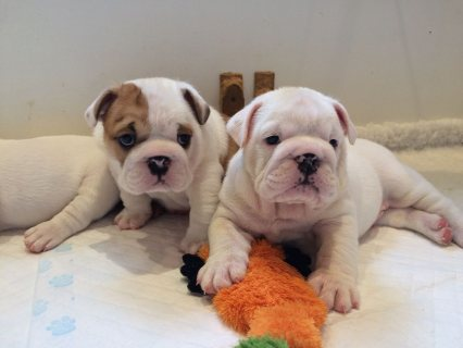 beautiful little medium cream English Bulldog