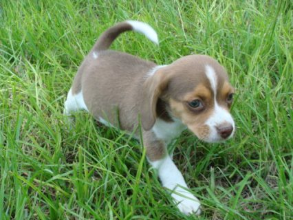 صور Beautiful Beagle Pups Available For Sale 1