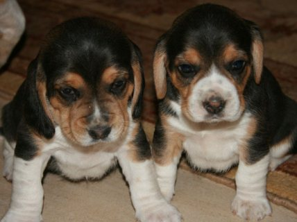Cute and Charming Beagle Puppies For Sale