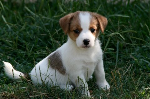 2 Jack Russell Terrier Pups For Sale