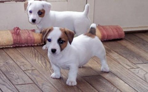 Lovely Jack Russell puppies for Sale