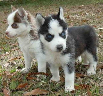 Excellent Blue Eyes Siberian Huskies Pups For Sale