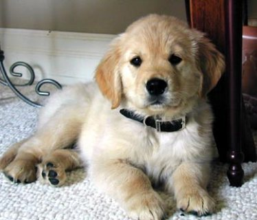 Well Trained Golden Retriever Puppies For Sale