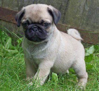Beautiful pure bred pug Puppies ready