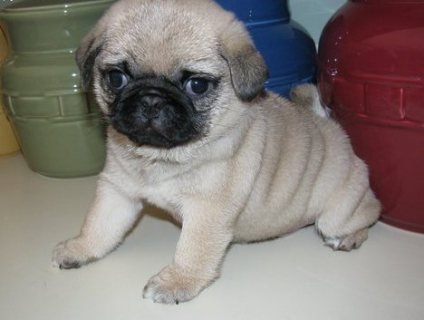 Male and Female Pug Puppies Available Now..