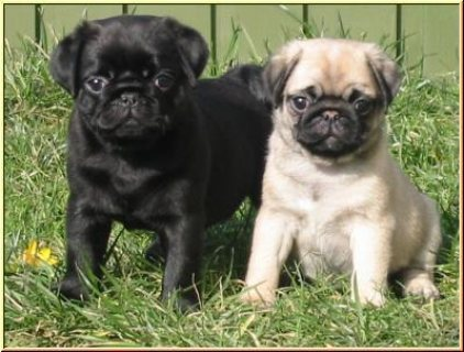 صور  Home Raised Pug Puppies For Sale 1
