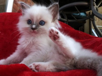 Male and female Ragdoll Kittens For Sale
