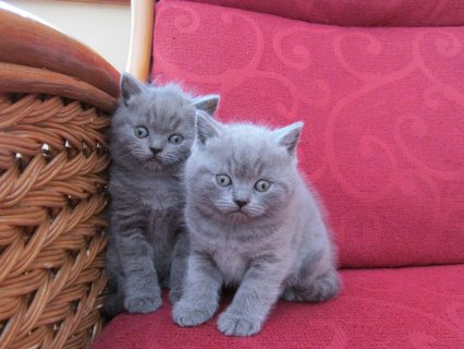 Cute British Blue Shorthair kittens For Sale