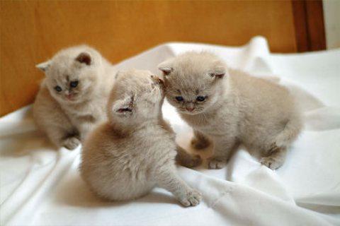 excellent british short hair kittens for new homes