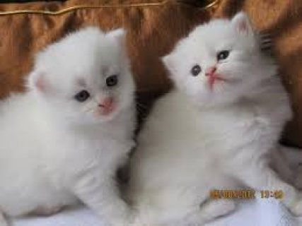 صور milk and cute persian kittens seeking a home 1