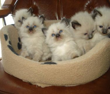Beautiful Ragdoll Kittens