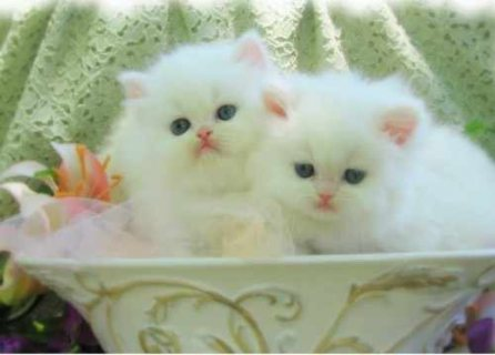 Cute Male And Female Persian Kittens For Good Rehoming