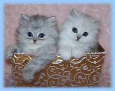 Persian kittens for sale (tea cup)