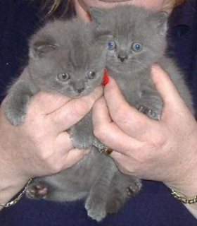 11 weeks old male and female magnificent British shot hair kitte