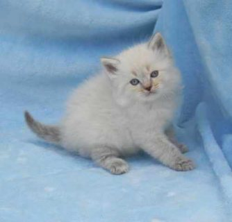 Ragdoll Kittens For Adoption