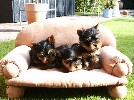 Friendly Yorkie Puppies for Re-homing