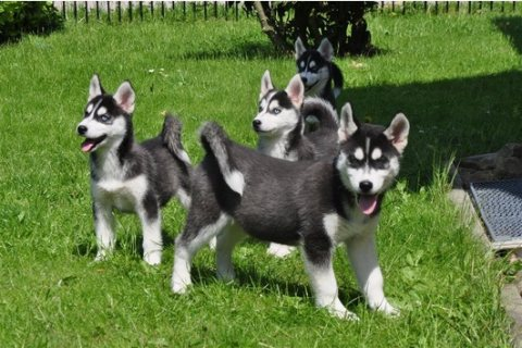 lovely male and female Siberian husky  puppies