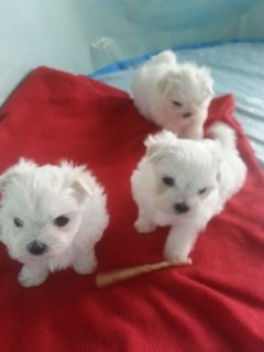 Two Maltese puppies ready now