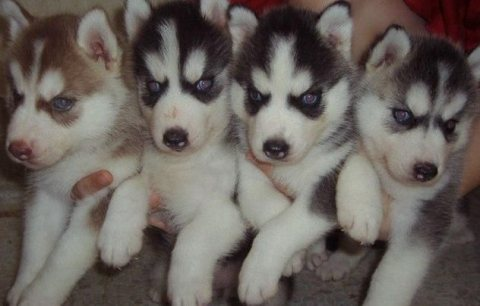 SIBERIAN HUSKEY PUPPIES FOR SALE
