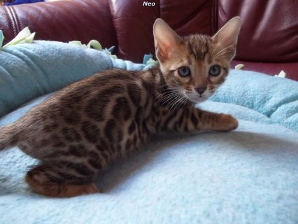 صور male and female Bengal kittens available  1